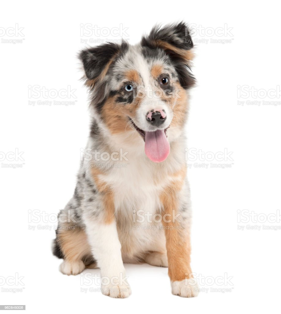 Puppy australian shepherd panting(5 months) in front of a white background stock photo