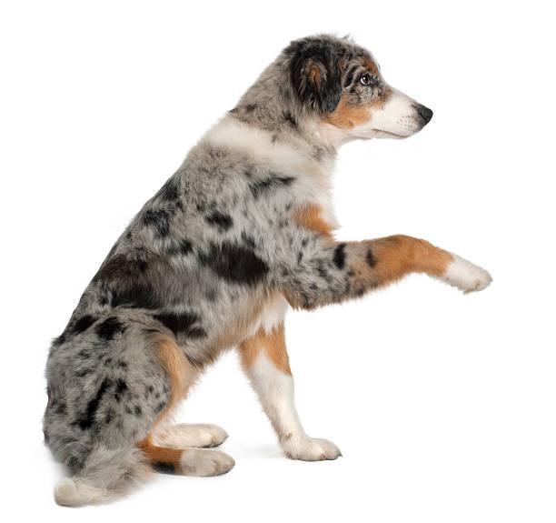 Puppy australian shepherd playing 5 months old picture id471415953?b=1&k=6&m=471415953&s=612x612&w=0&h=7qxijepzit143zqcn2h8cpqmxvys89iiupdfjfl qw0=