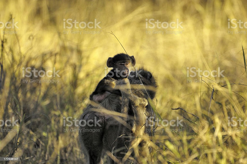 Puppy Baboon and her mother stock photo