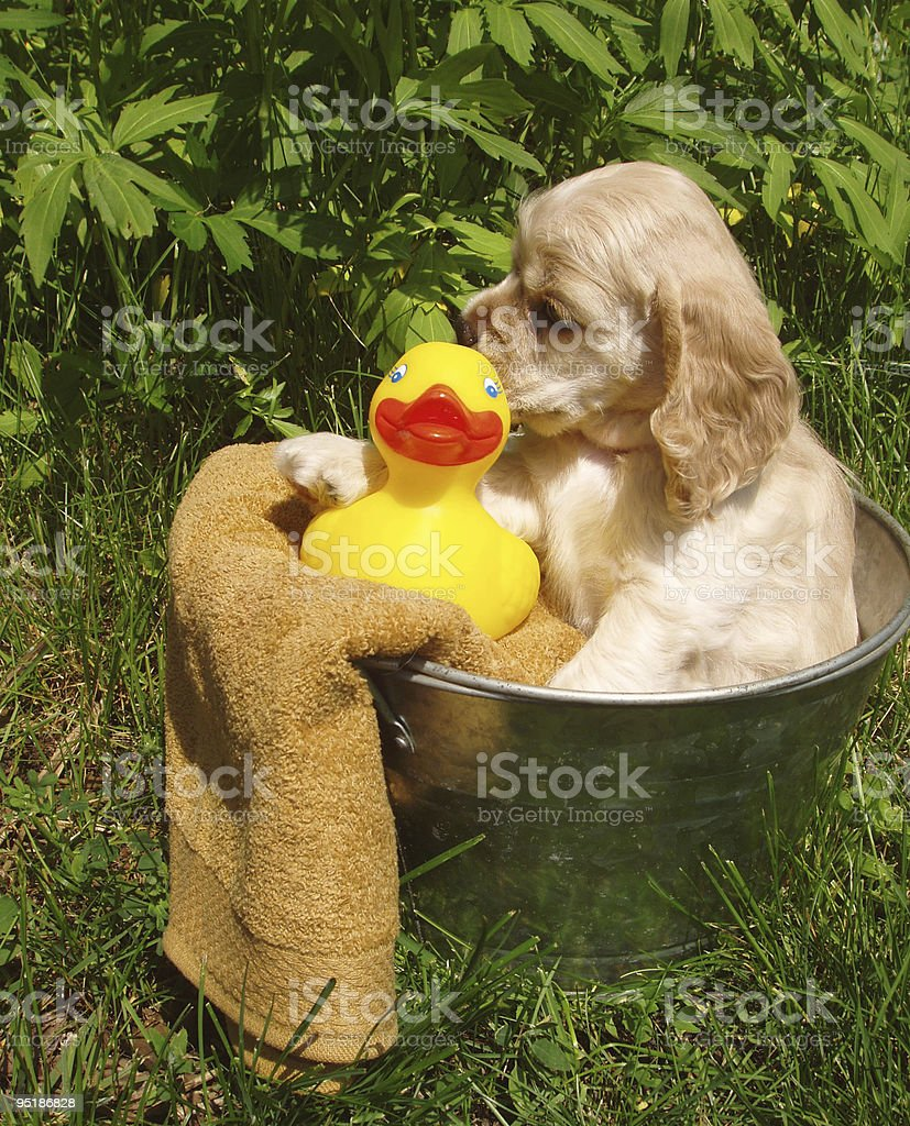 Puppy Bath Time royalty-free stock photo