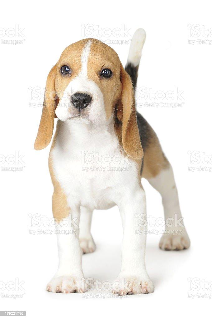 Puppy Beagle on White Background stock photo