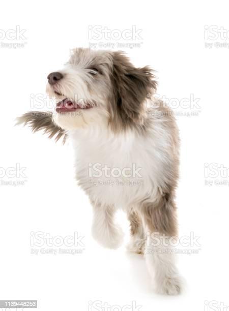 Puppy bearded collie picture id1139448253?b=1&k=6&m=1139448253&s=612x612&h=sd0mmi4lkja0nza63gb2zbnvt02liawdnecyo u1jeq=