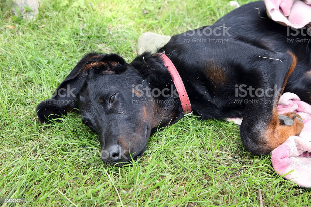 Puppy, beauceron, french shepherd stock photo