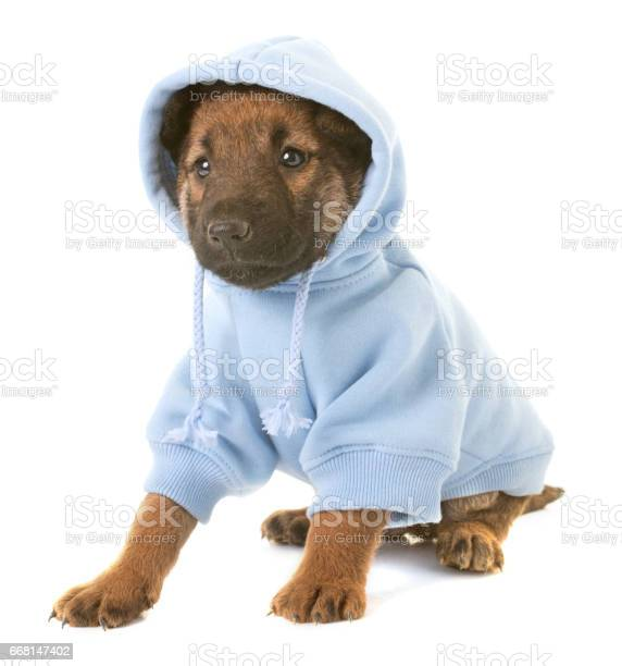 Puppy belgian shepherd dog laekenois picture id668147402?b=1&k=6&m=668147402&s=612x612&h=5fwa8 dd3vjc clrymi5njy or4jvwdbkrwlk3lwju4=