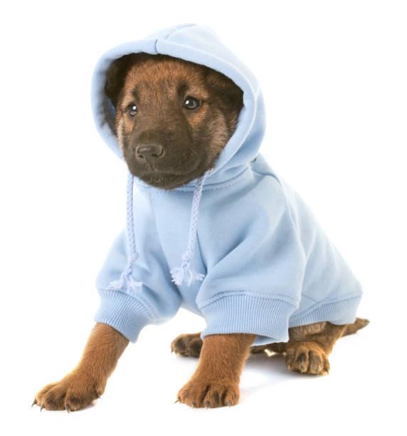 Puppy belgian shepherd dog laekenois picture id668147402?b=1&k=6&m=668147402&s=612x612&w=0&h=vojm5bpjwtdkzvxkd3u fbzcktbauna6isixk5oo dg=