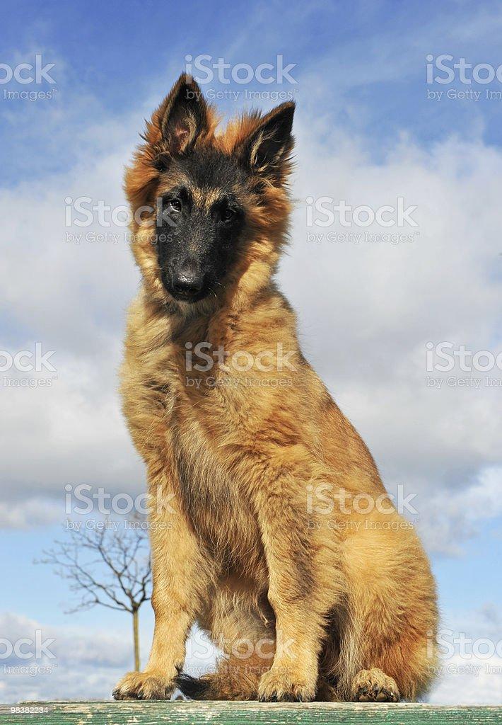puppy belgian shepherd royalty-free stock photo