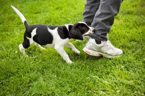 Puppy Biting Leg stock photo