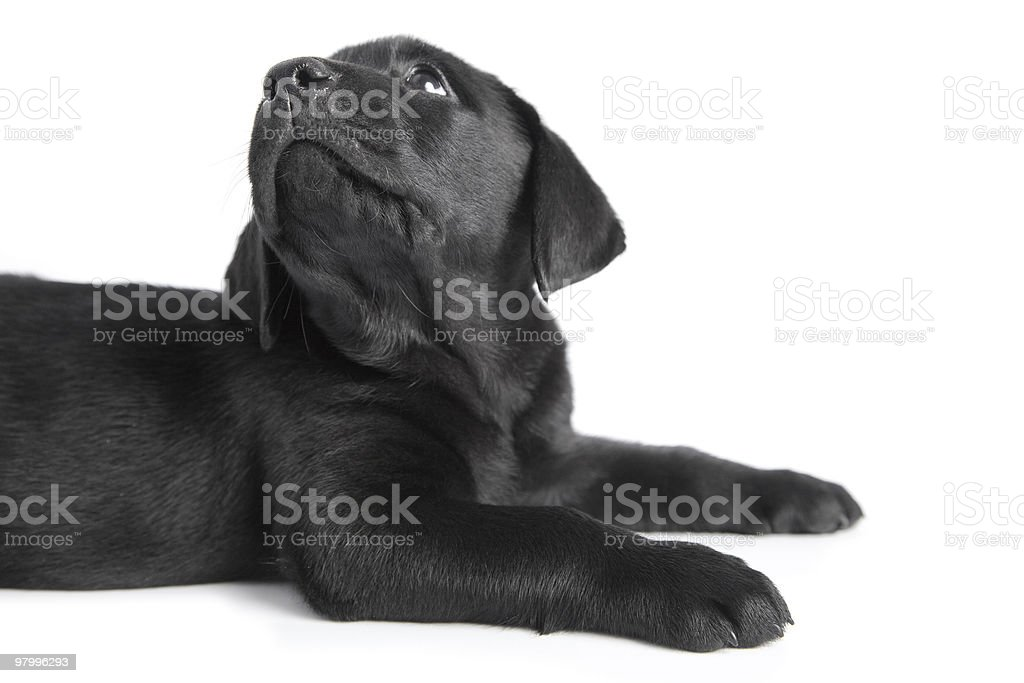 Puppy black dog labrador on white royalty-free stock photo