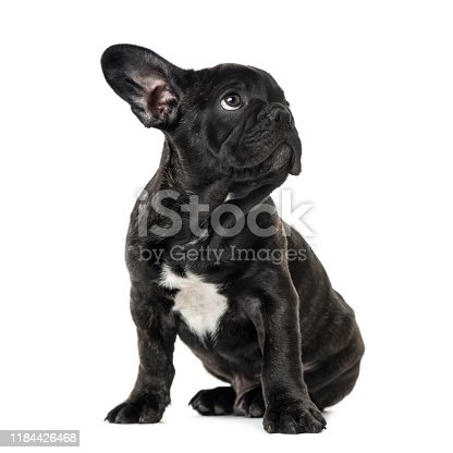 Puppy Black French bulldog sitting and looking away , isolated on white