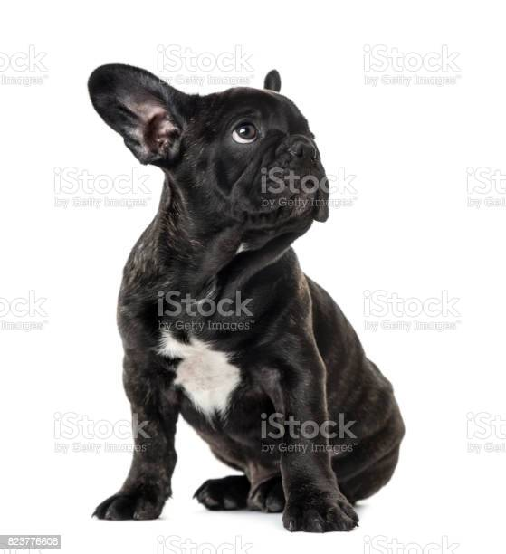 Puppy black french bulldog sitting and looking away isolated on white picture id823776608?b=1&k=6&m=823776608&s=612x612&h=xxdlva0sxdaldpqtvtyzvndlluun5bmdybqckkhzojc=
