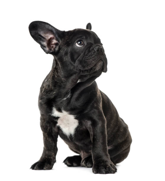 Puppy Black French bulldog sitting and looking away , isolated on white Puppy Black French bulldog sitting and looking away , isolated on white french bulldog stock pictures, royalty-free photos & images