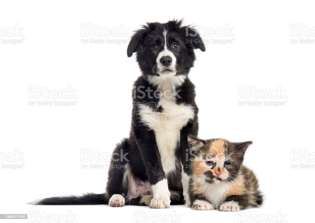Collie De Frontera De Cachorro Y Gatito Europeo De Pelo