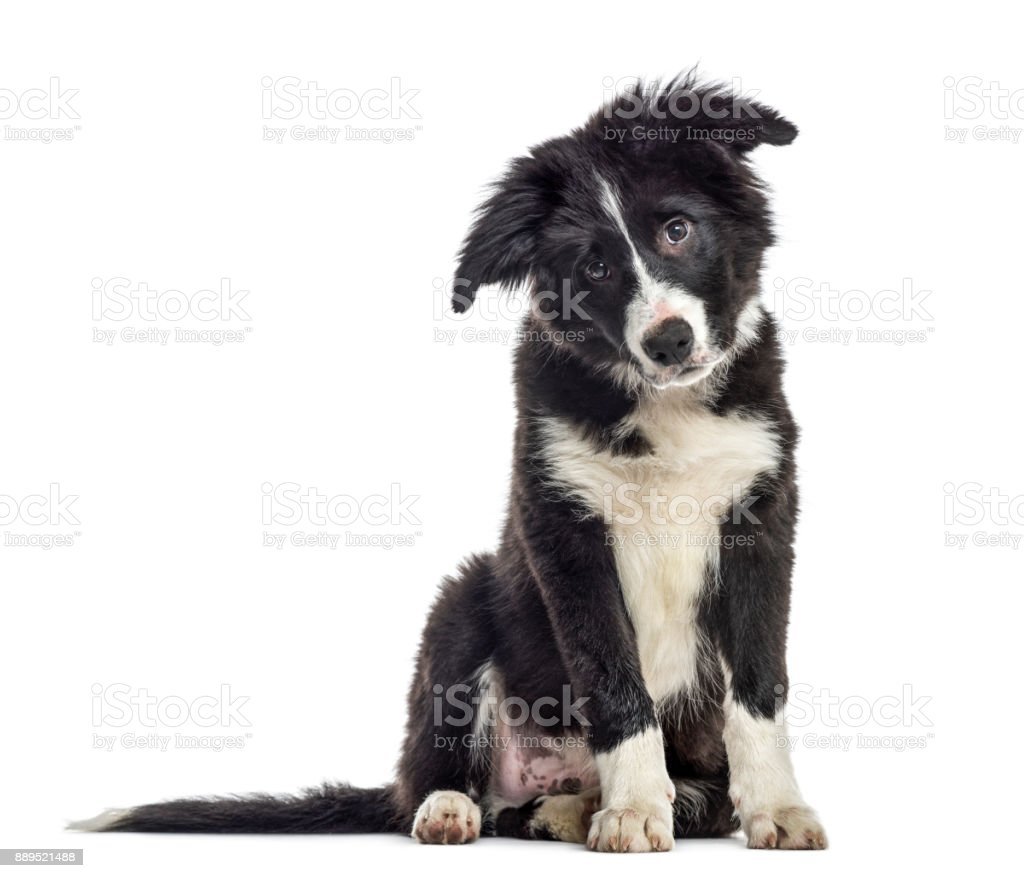 puppy border collie dog, 3 months old, sitting, isolated on white stock photo
