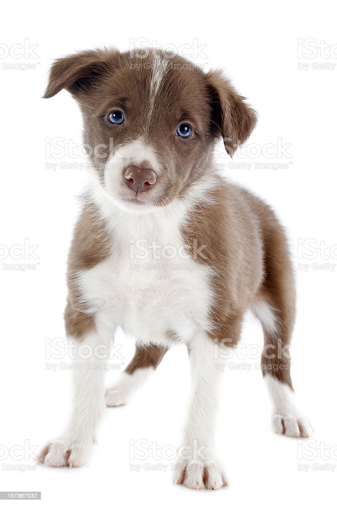 puppy border collie royalty-free stock photo