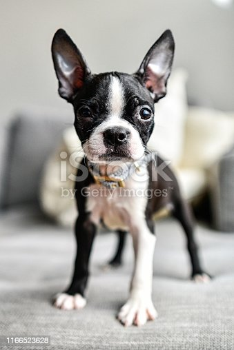 Puppy Boston Terrier with Big Ears Close Up