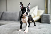 Black and White Puppy Boston Terrier with Big Ears on Gray Couch