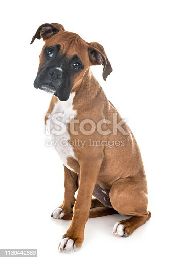 puppy boxer in front of white background