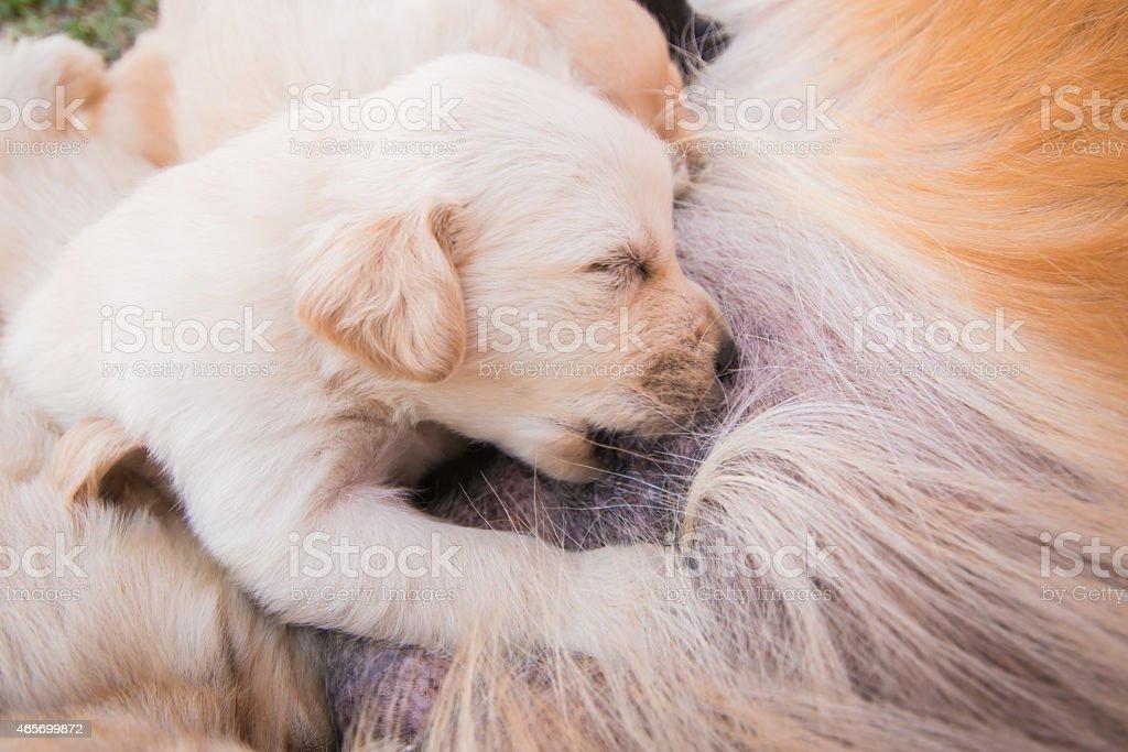 Puppy breastfed stock photo