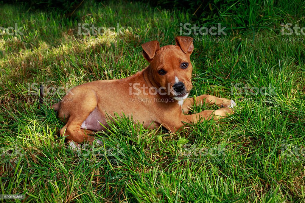 puppy breed American Staffordshire Terrier foto royalty-free