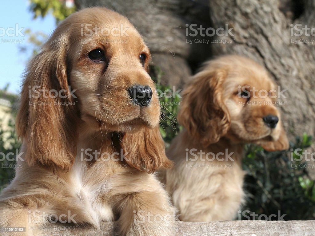 Puppy brothers royalty-free stock photo