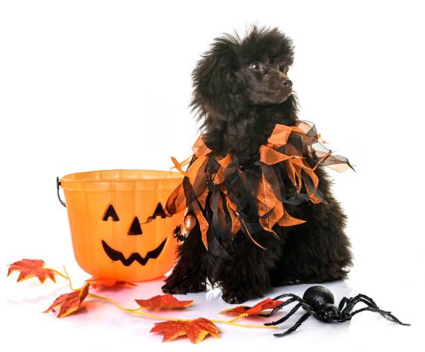 pudel welpen braun und halloween - hund spinnenkostüm stock-fotos und bilder