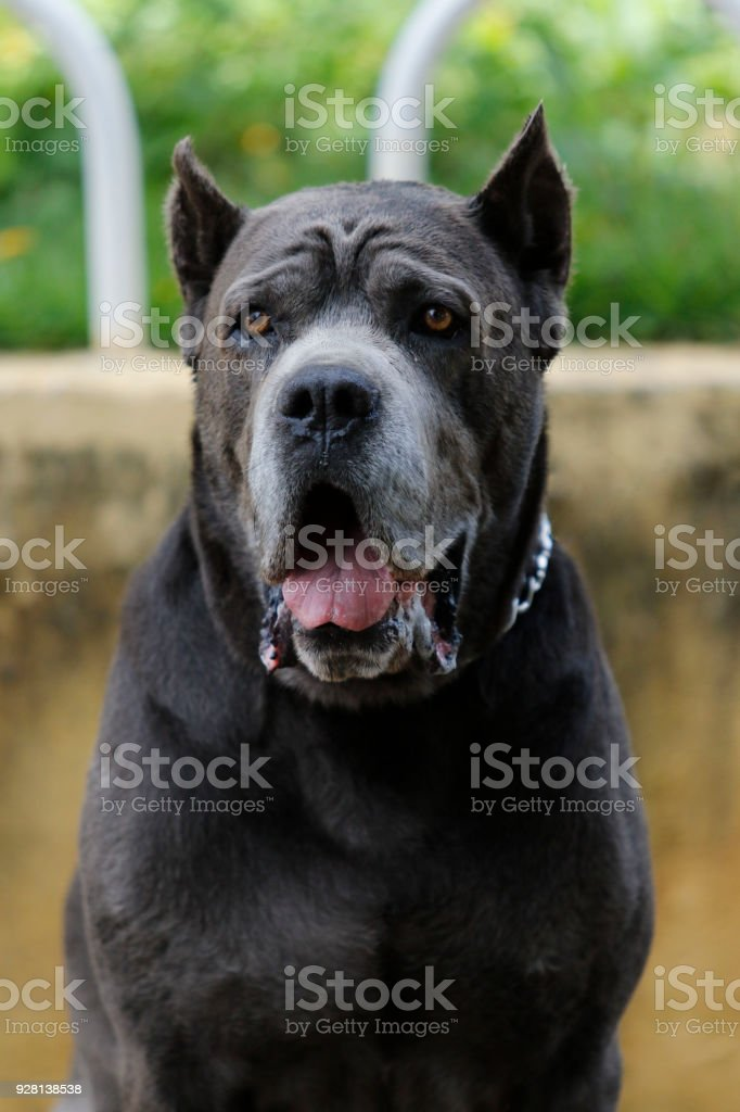 Puppy Cane Corso adult royalty-free stock photo
