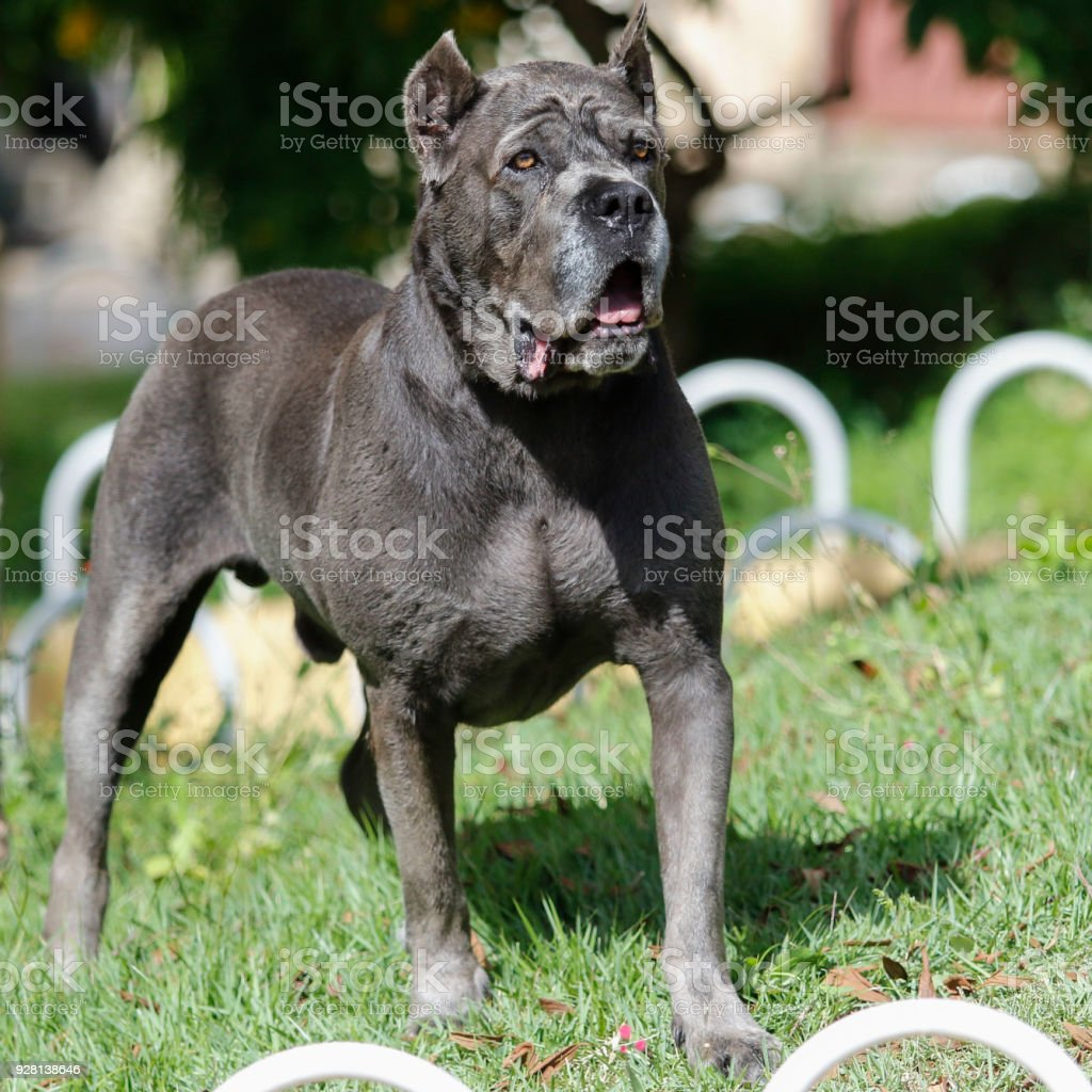 Puppy Cane Corso adult Dog of the Cane Corso race of adult age in haughty pose Alertness Stock Photo
