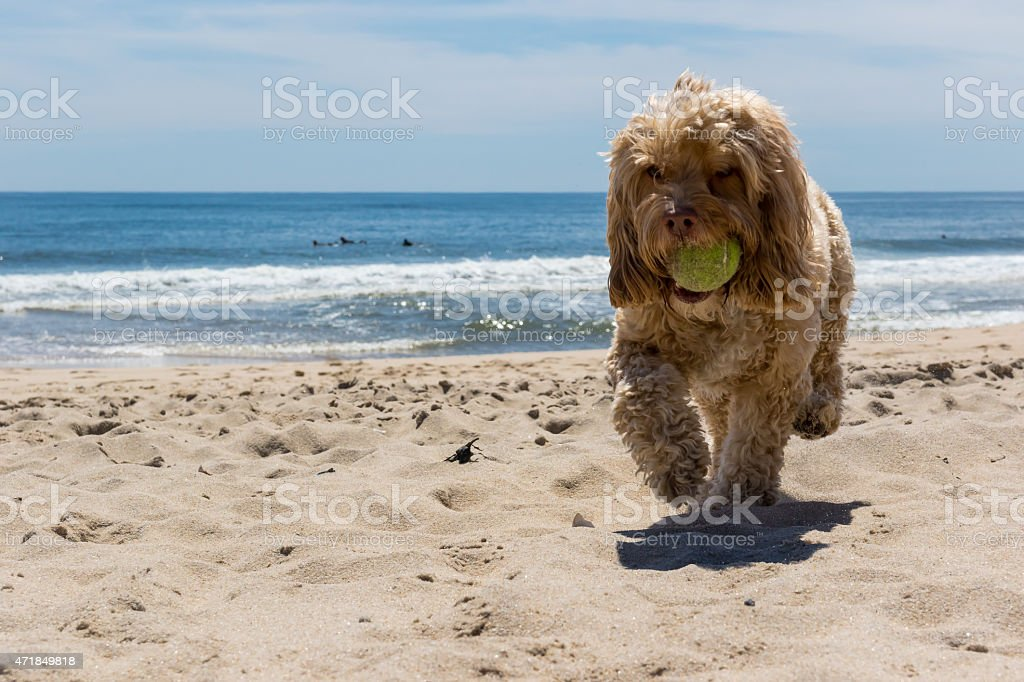 Puppy Carrying Ball while Running on Beach under Blue Sky stock photo