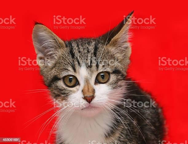 Puppy cat on red background picture id453061691?b=1&k=6&m=453061691&s=612x612&h=hecs0oj8xzjfkc2zrtf79rlnjhrosaths pwsn4hjnc=
