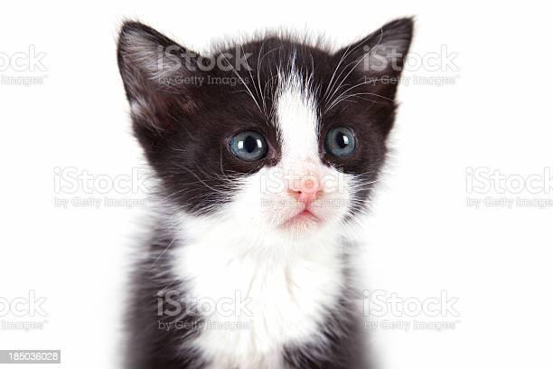 Puppy cat on white background picture id185036028?b=1&k=6&m=185036028&s=612x612&h=qilhwrvt9uetfbjqjlwwussb1mmew9cylfurv sitgk=