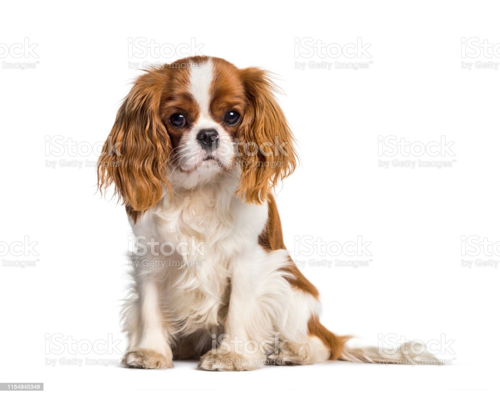 Puppy Cavalier King Charles Spaniel Dog Stock Photo Download Image Now Istock