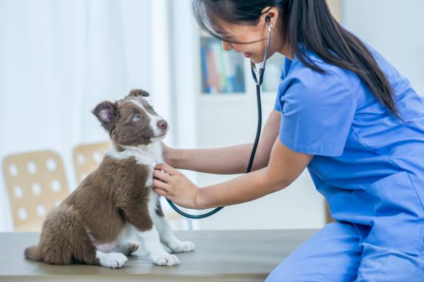 valp checkup - veterinär, undersökning bildbanksfoton och bilder