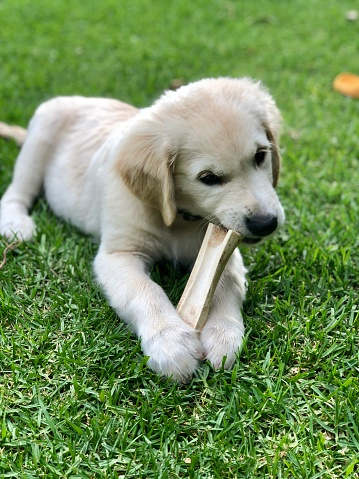 Golden retriever puppy chewing on marrow bone with those needle teeth