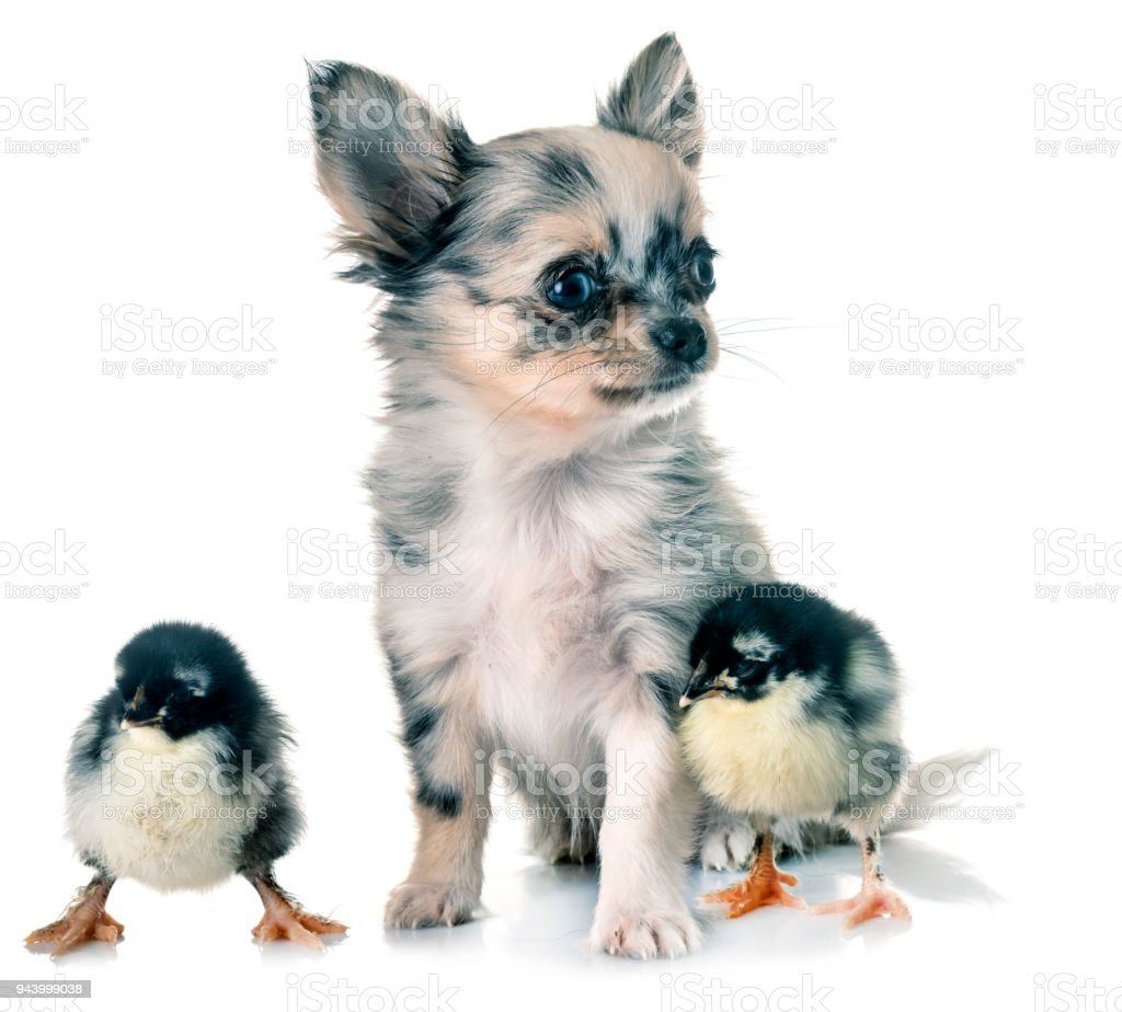 puppy chihuahua and chicks stock photo