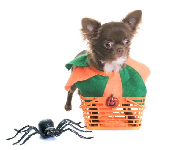 chihuahua welpen und halloween - hund spinnenkostüm stock-fotos und bilder