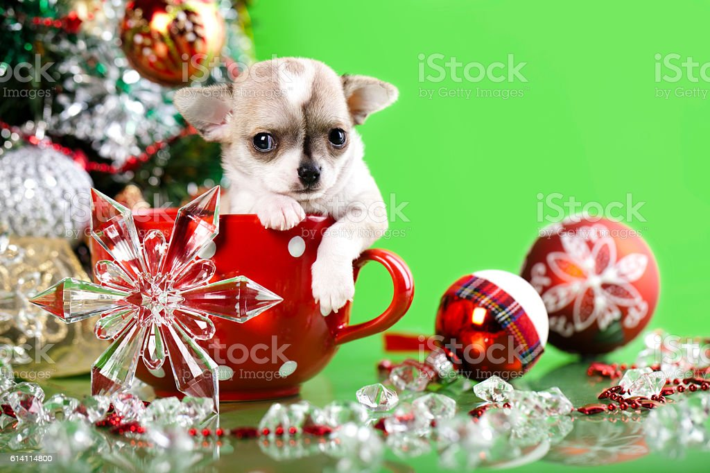 Puppy Chihuahua Christmas in red cup stock photo