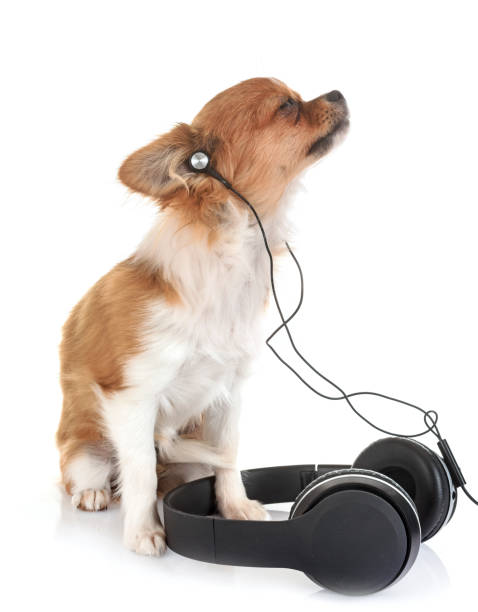 Puppy chihuahua picture id936567304?b=1&k=6&m=936567304&s=612x612&w=0&h=tstndrssqt0psyhqg6c  8fqb5yfan1y1n1bu5zhlvs=