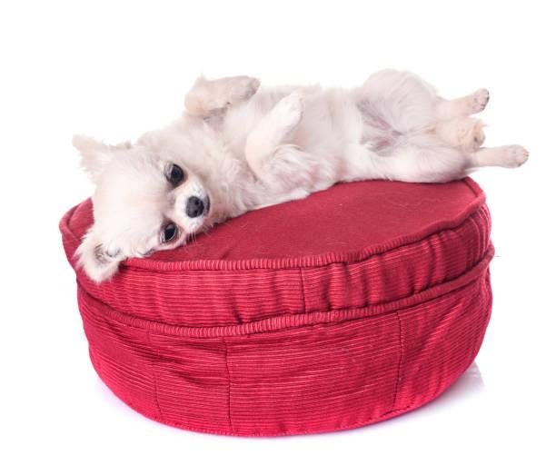 Puppy chihuahua picture id943999100?b=1&k=6&m=943999100&s=612x612&w=0&h=vgn swdkn ir awsoozi ye0rojtr1qtdwmdemfta9g=