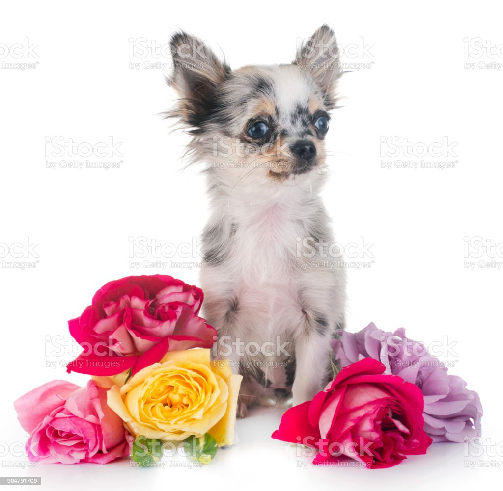 puppy chihuahua royalty-free stock photo