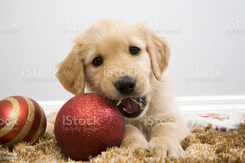 Puppy Christmas Chew royalty-free stock photo