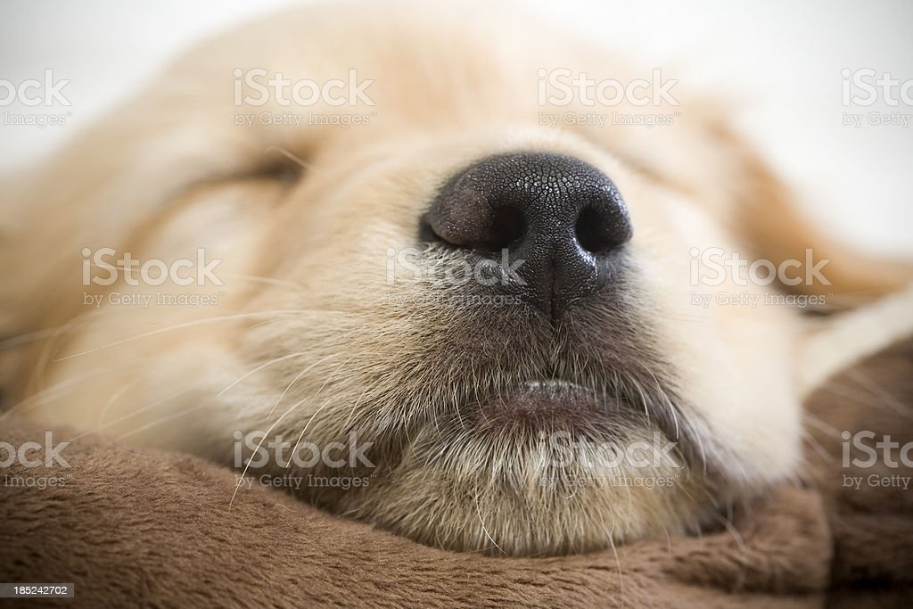 Puppy Close Up royalty-free stock photo