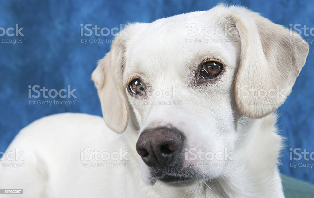 Puppy Closeup royalty-free stock photo