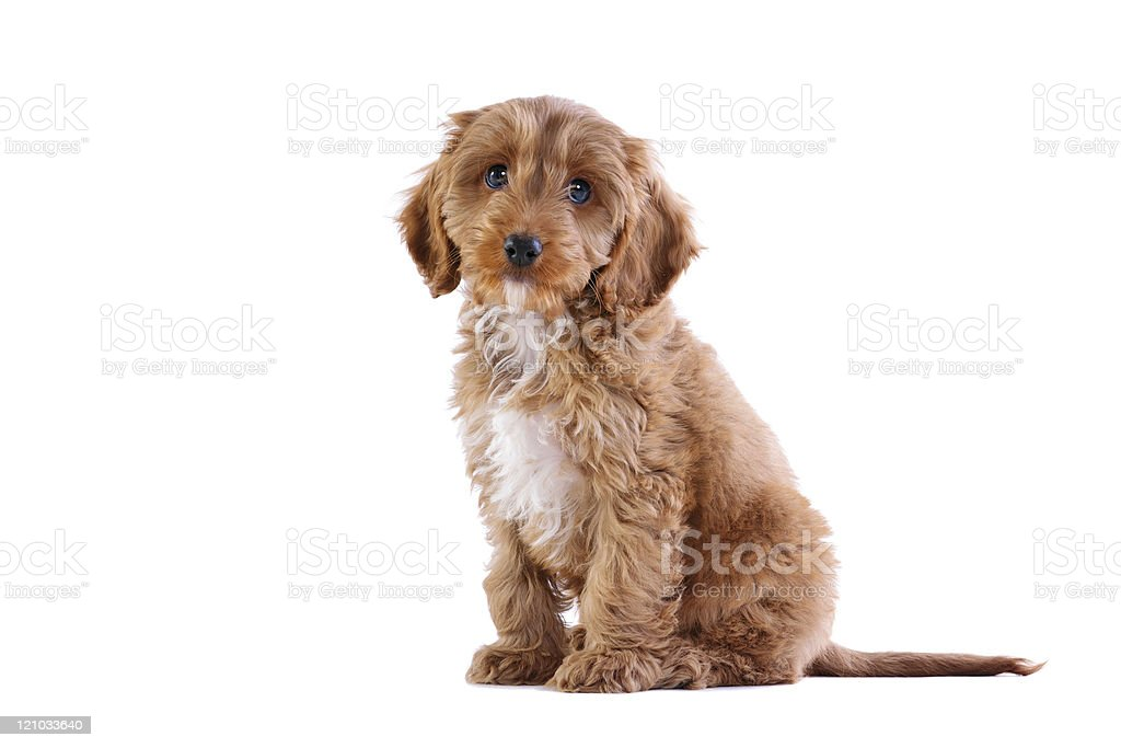 Puppy Cockapoo isolated on white stock photo