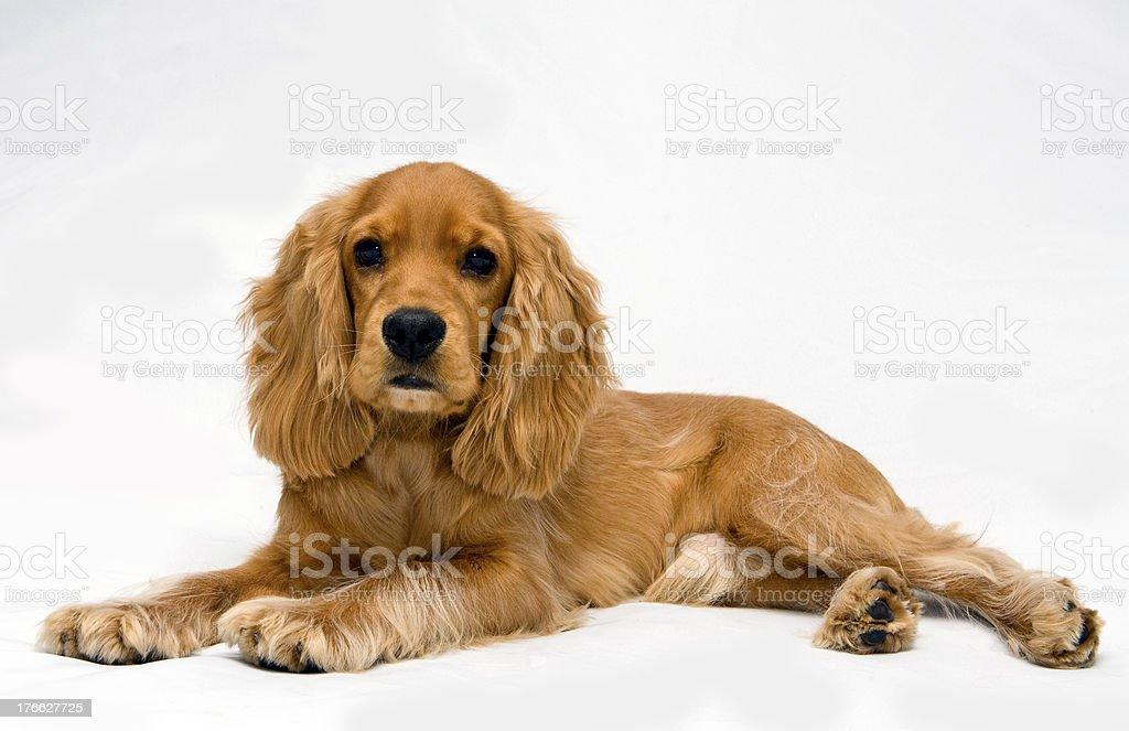 Puppy Cocker spanie stock photo