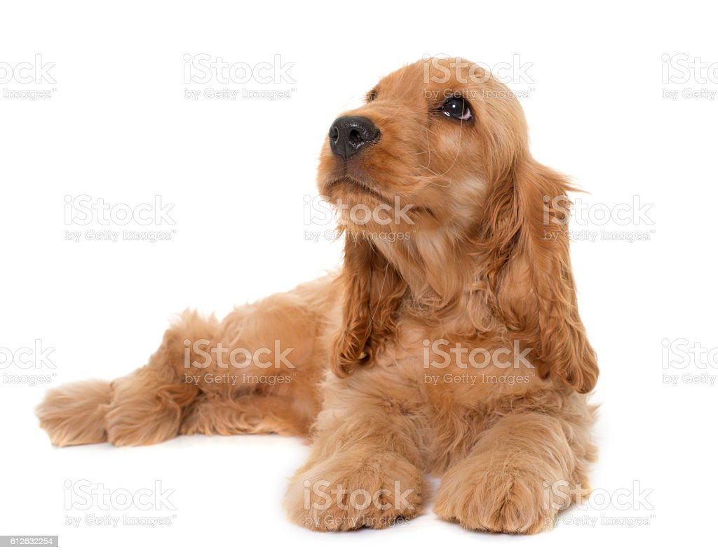 puppy cocker spaniel in studio stock photo