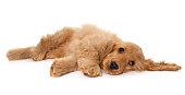 istock puppy cocker spaniel in studio 612632296