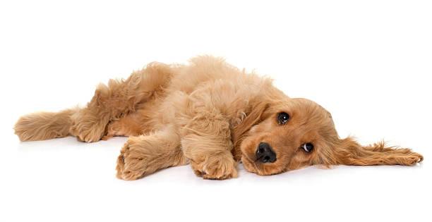puppy cocker spaniel in studio - yatmak stok fotoğraflar ve resimler