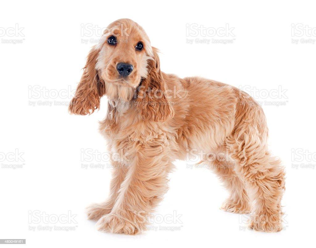 puppy cocker spaniel stock photo