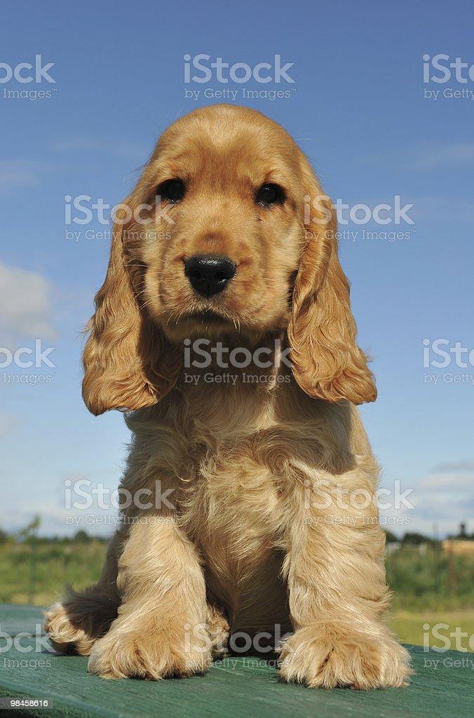 puppy cocker spaniel royalty-free stock photo