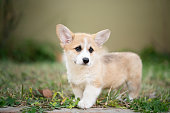 istock puppy corgi dog on the grass in summer sunny day 1127576206